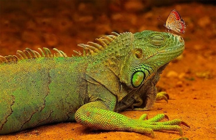Lizard+With+Butterfly.jpgLizard+With+Butterfly