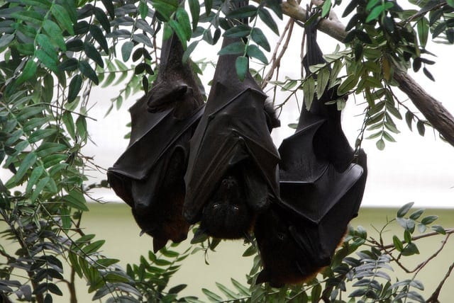 Hanging+Bats.jpgHanging+Bats