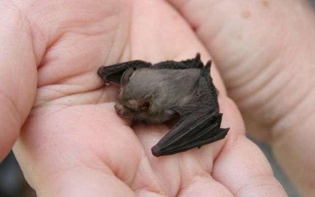 Kitti+Hog-Nosed+Bat.jpgKitti+Hog-Nosed+Bat