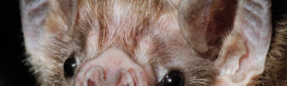 Bats – The Facts And The Fiction