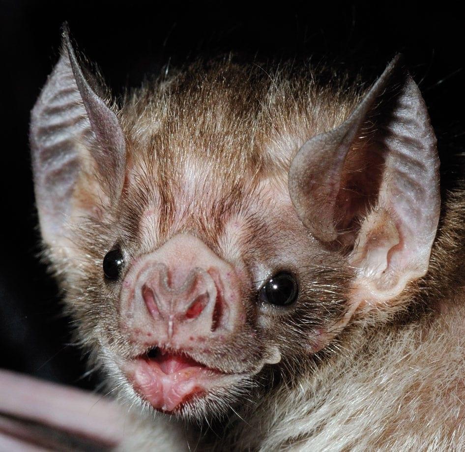 Vampire+Bat.jpgVampire+Bat1