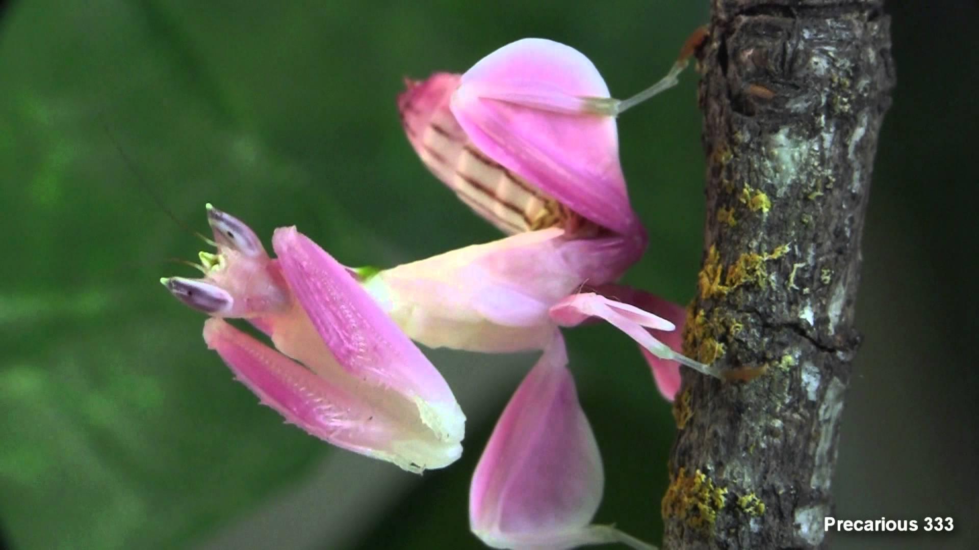 Orchid+Mantis.jpgOrchid+Mantis