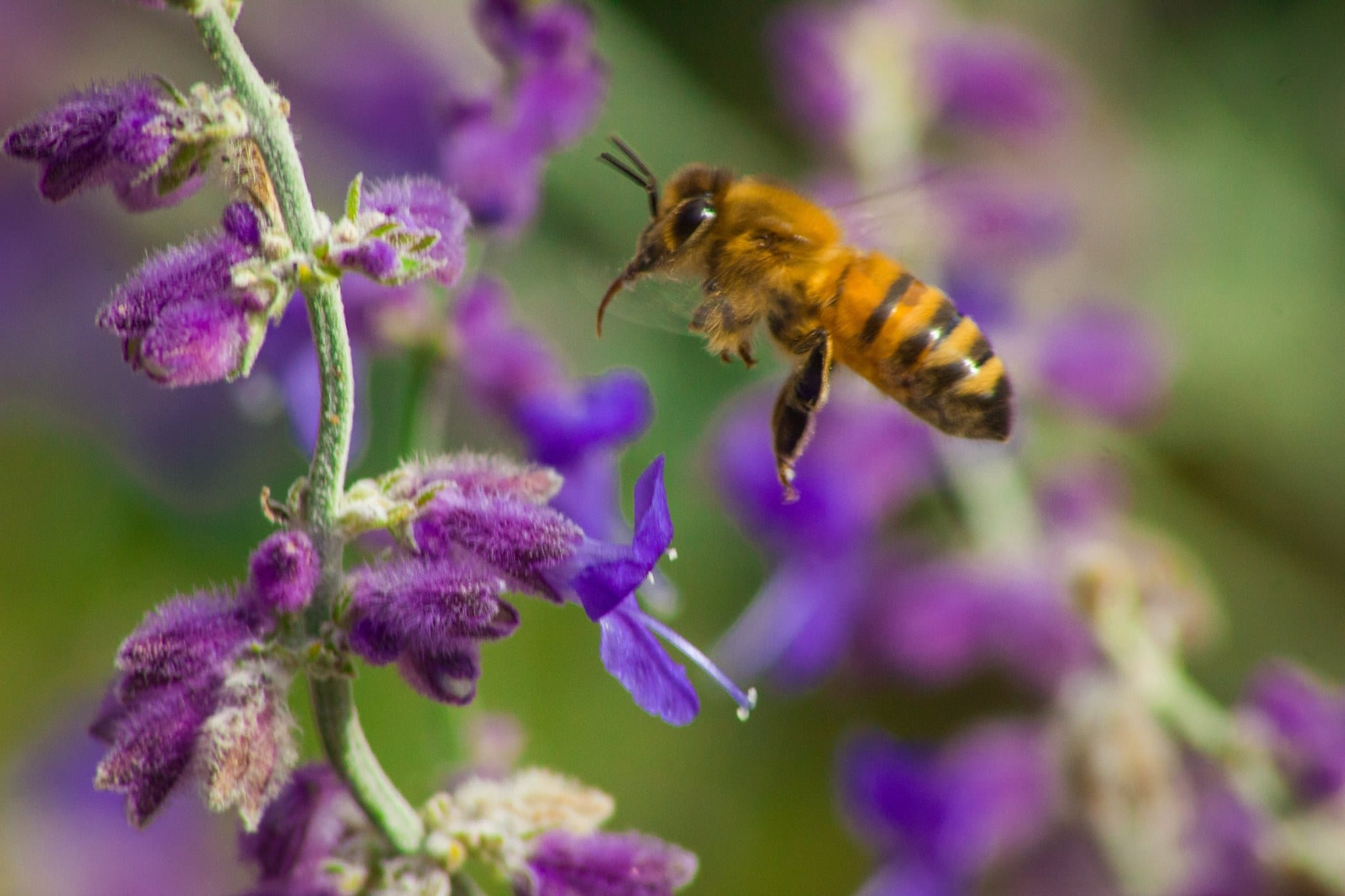 Bees+and+Sage.jpgBees+and+Sage