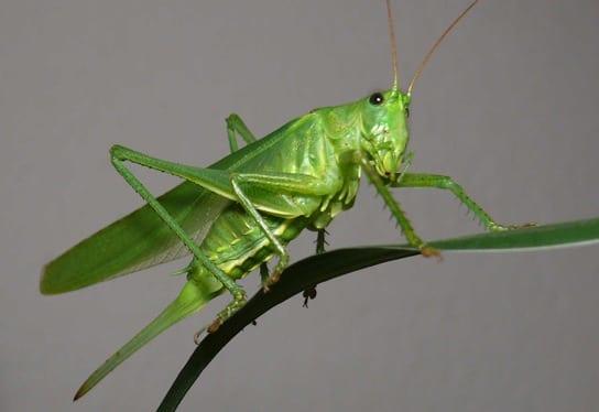 Grasshopper.jpgGrasshopper