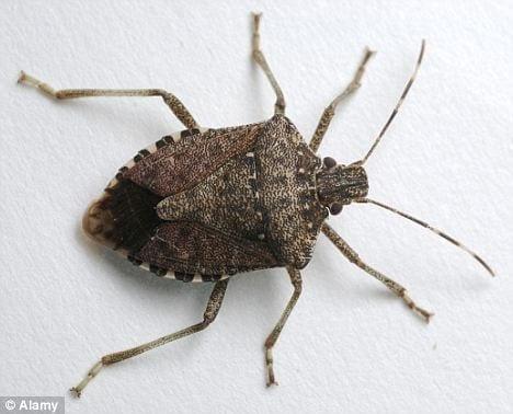 Stink+Bug.jpgStink+Bug