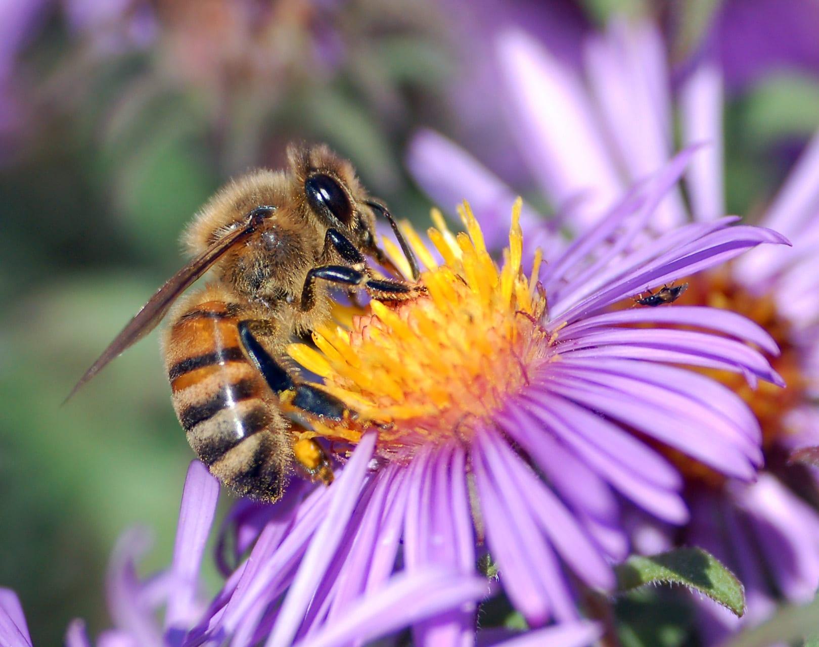 Honeybee.jpgHoneybee