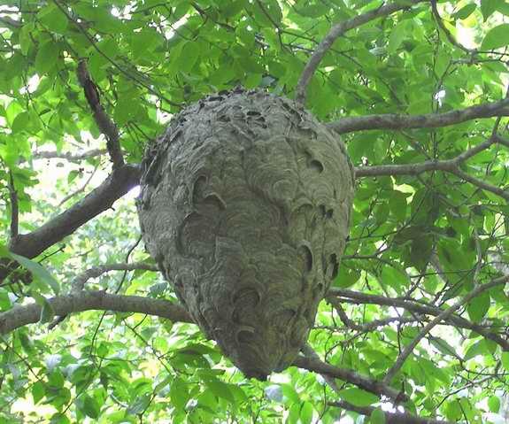 Bald+Faced+Hornet+Nest.jpgBald+Faced+Hornet+Nest