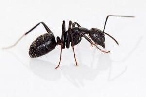Carpenter+Ant.jpgCarpenter+Ant