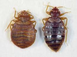 Fed+and+Unfed+Bed+Bug.jpgFed+and+Unfed+Bed+Bug