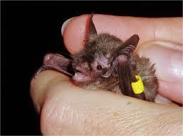 Indiana+Bat.jpgIndiana+Bat