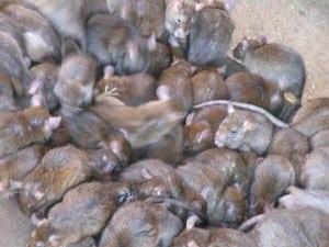 Mice.jpgMice