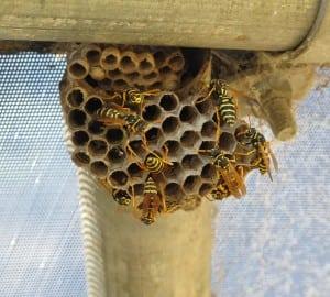 Paper+Wasp+Nest.jpgPaper+Wasp+Nest